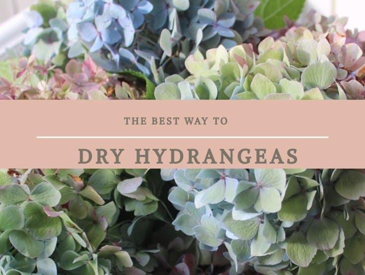 Drying Hydrangeas