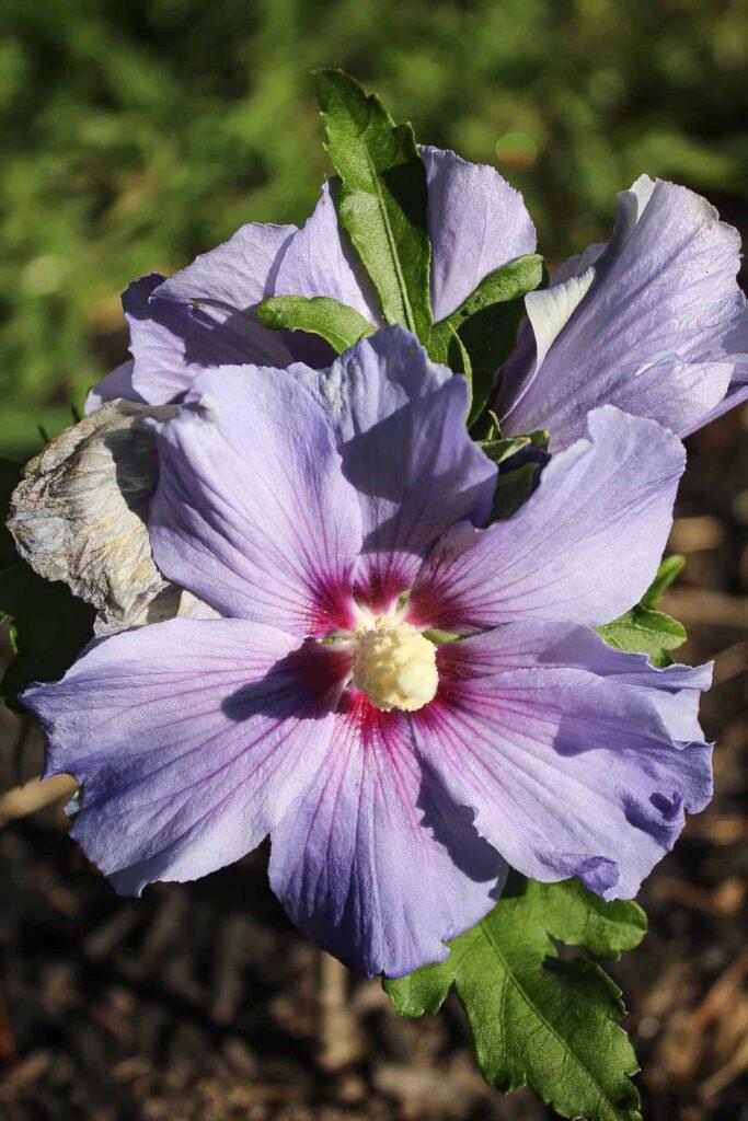 """Hibiscus """"Azurri Blue Satin"""""""