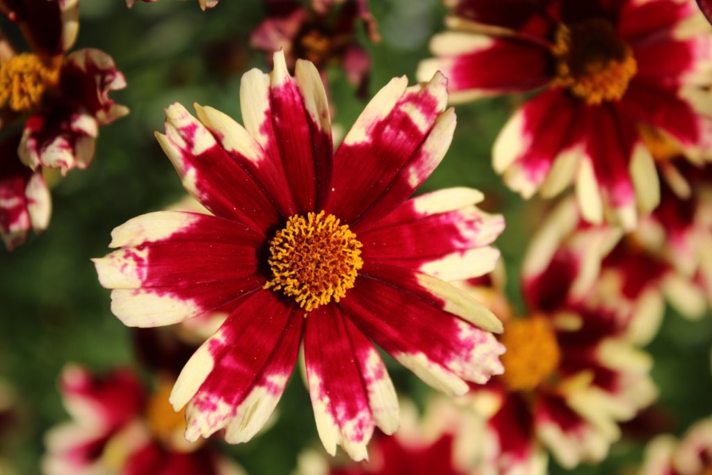Ruby Frost Coreopsis