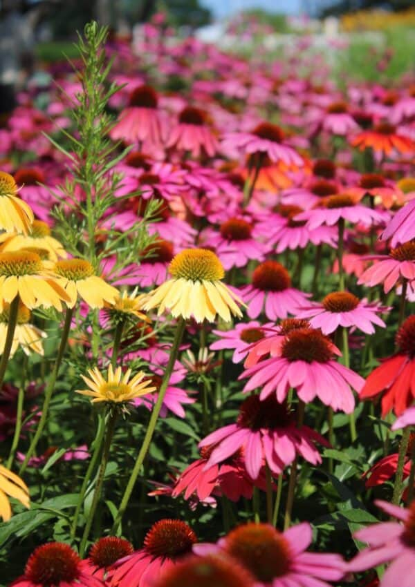 Easy Perennials For Full Sun