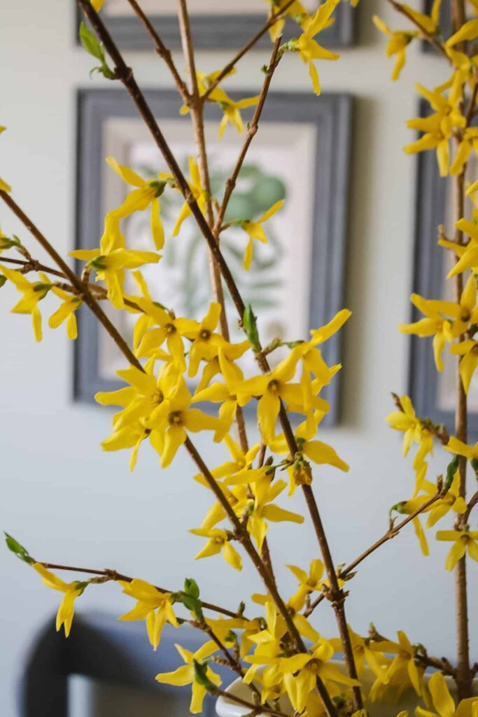 forsythia branches blooming
