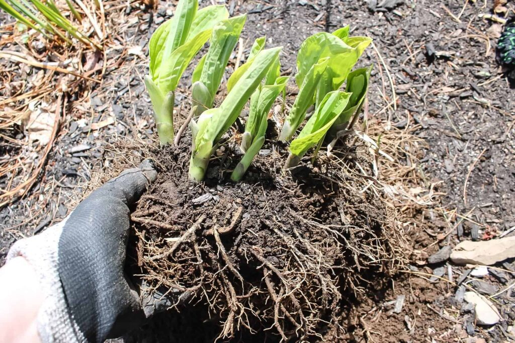 how to divide hosta