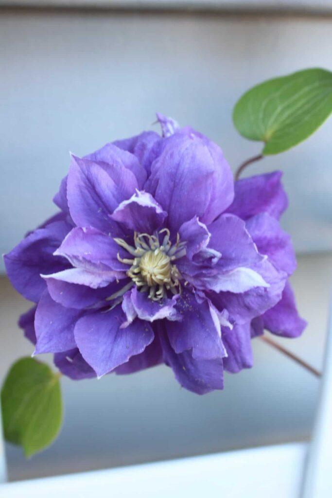franziska maria clematis blooming