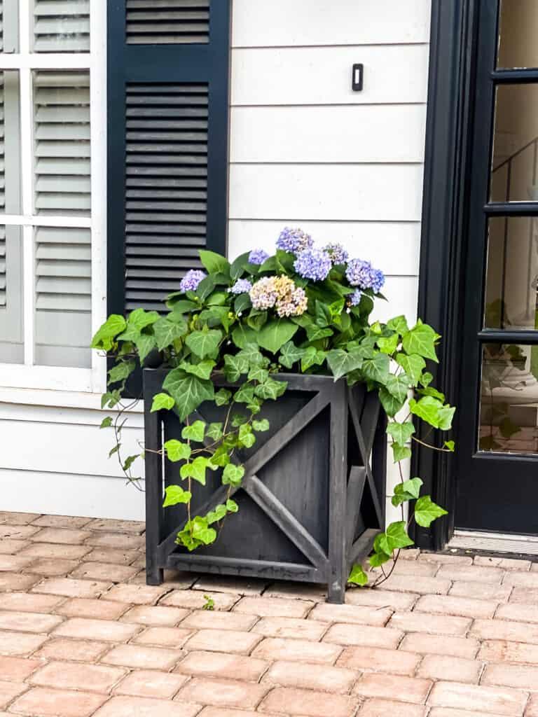 blue hydrangeas in black wooden planter