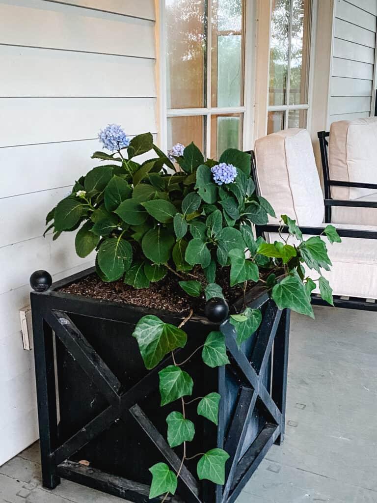hydrangeas in a black planter